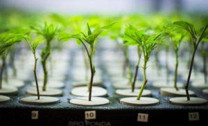 Cannabis Industry Survival
